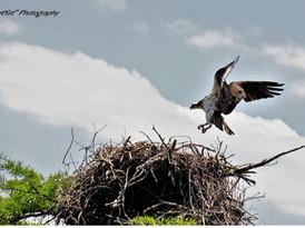 Osprey At Reelfoot Lake TN