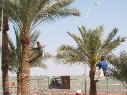 Aqaba Trimming the Palm Trees