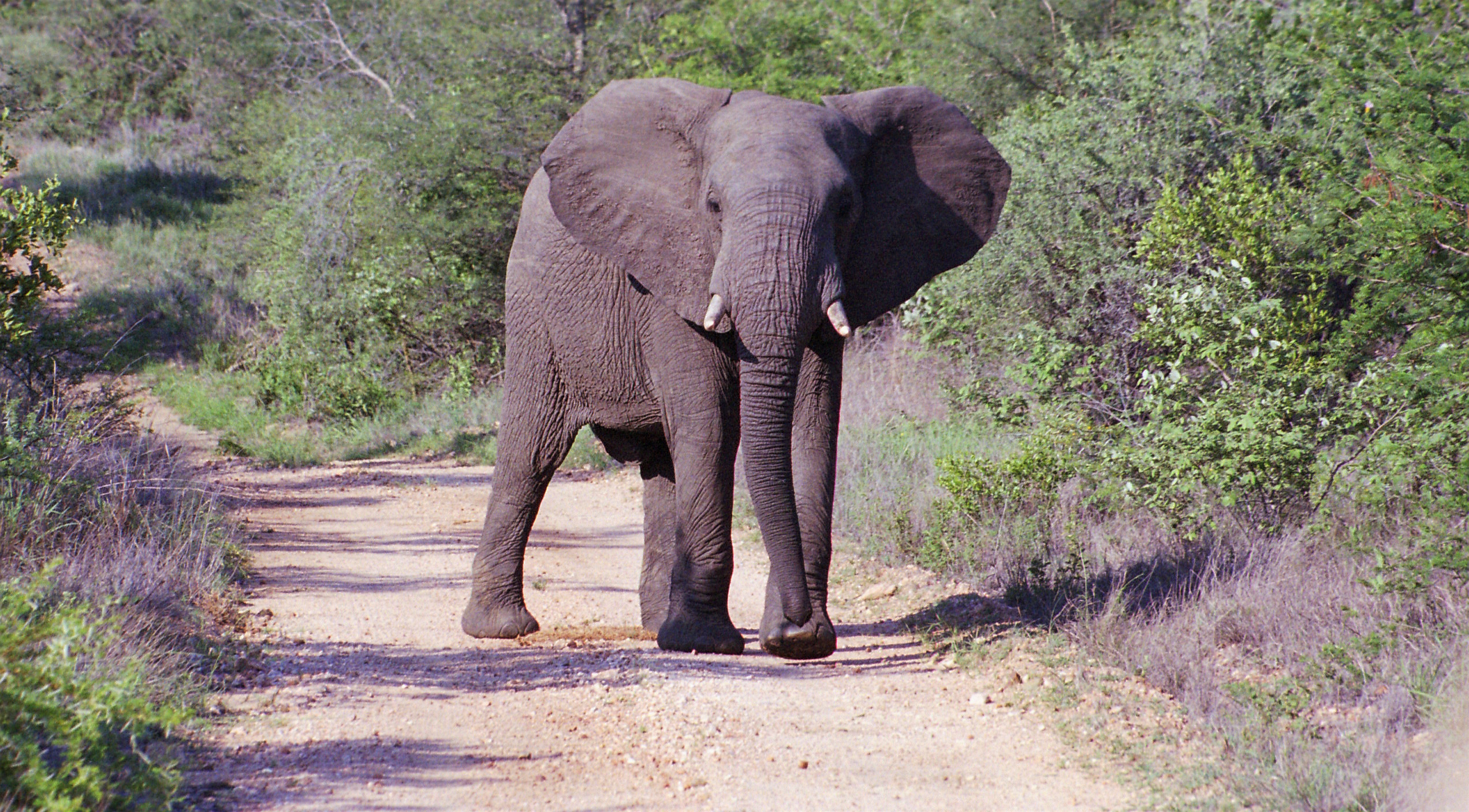 African Elephant ready to charge
