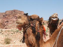 Wadi Rum b Camel and its tounge