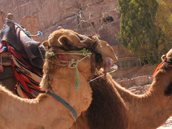 Wadi Rum b Camel See the slobber - just needs the noise as well