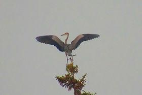 Heron on Tree top.jpg