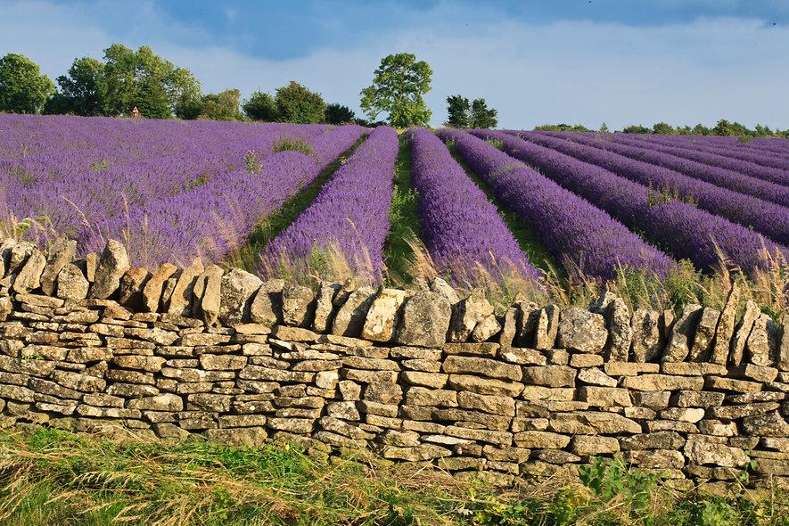 Lavender field England