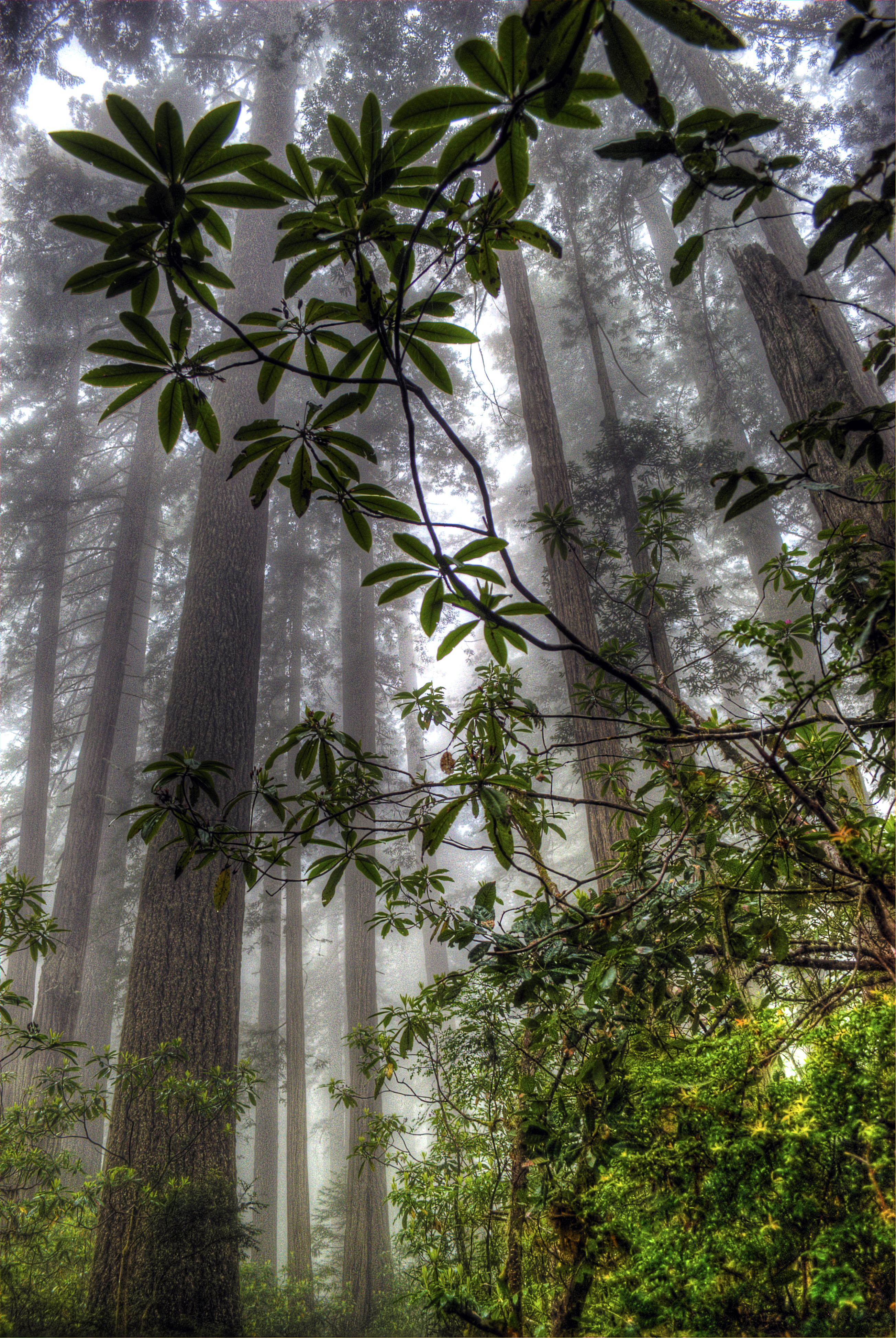 Redwood Rhododendrons
