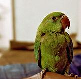 グリーンパロット
