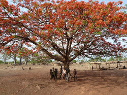 Flamboiant in Benin