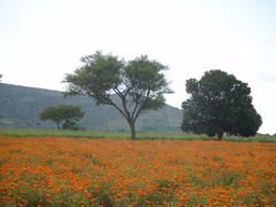 Kerala - Campo arancione