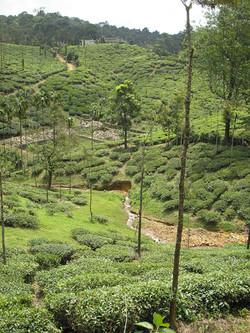Kerala - Valli del tè