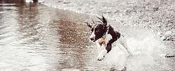 水の中で実行している犬