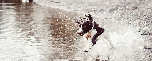 Hund in Wasser läuft
