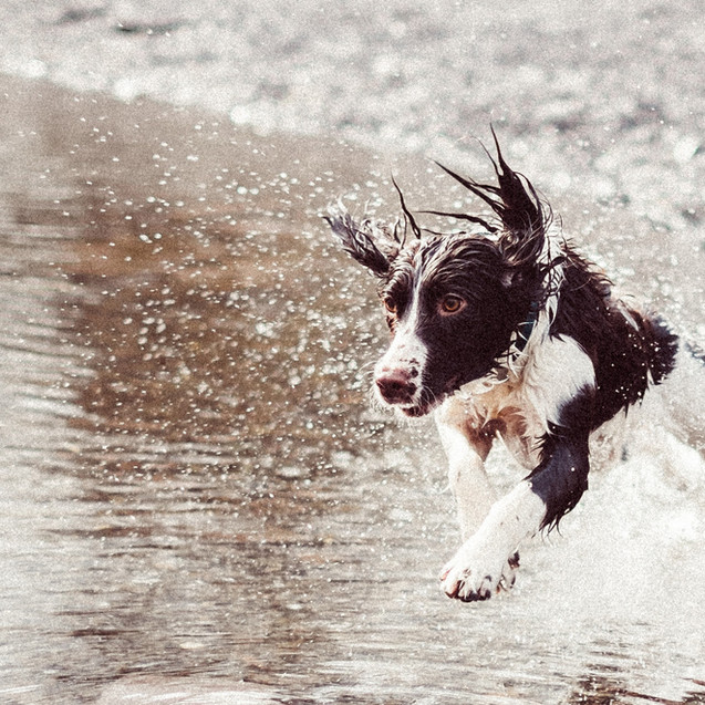 Dog Running in Water