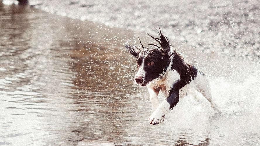 Perro corriendo en el agua