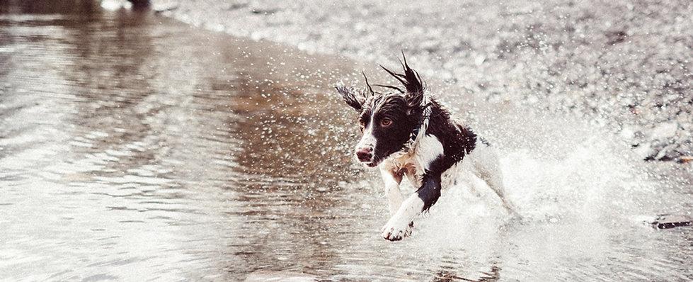 Chien Courir dans l'eau