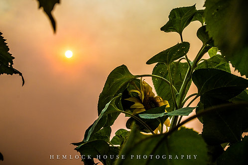 Sunflower, 2015, Napa Valley -11x14 Limited Fine Art Print