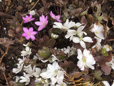 Natur statt Schotter –         Blütenpracht statt Versiegelung