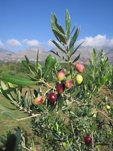 003B Olives0006.JPG