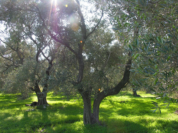 037b2 Olives.JPG