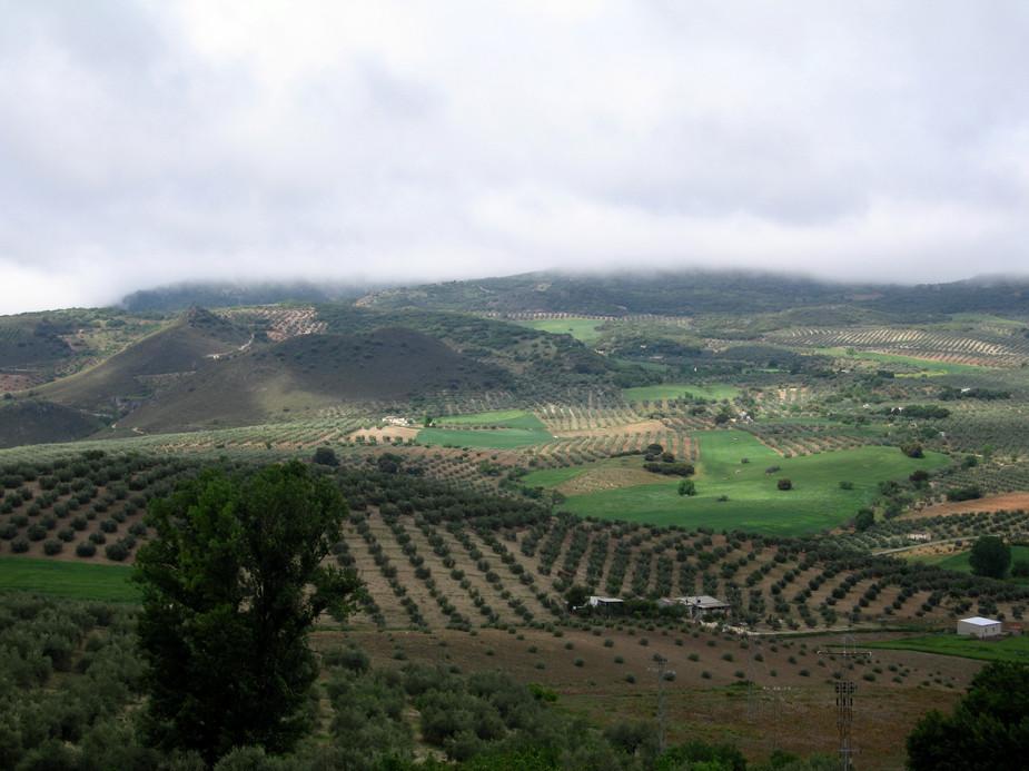 126 Пейзаж с оливками.JPG