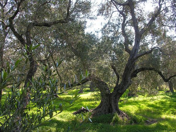 037B Olives.JPG