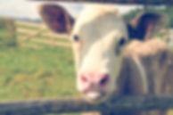 calf-sophie-dale-974837-unsplash.jpg