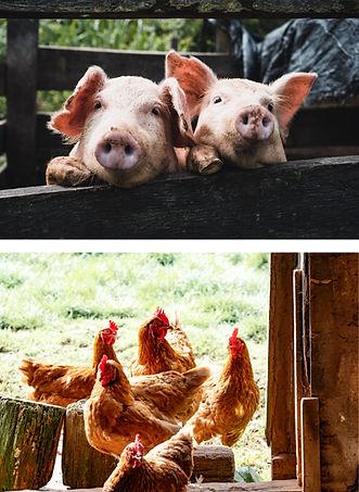 PIG CHICKEN.jpg