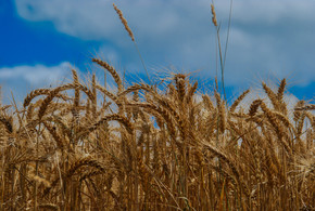 WITH SUMMER COMES WHEAT