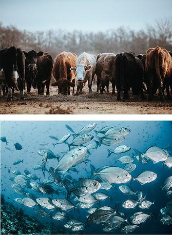 COW FISH.jpg