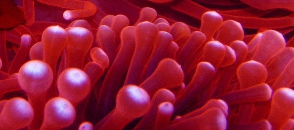 tomato-anemone-fish-1506924 (2).jpg