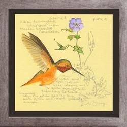 Allen's Hummingbird & Meadow Cranesbill