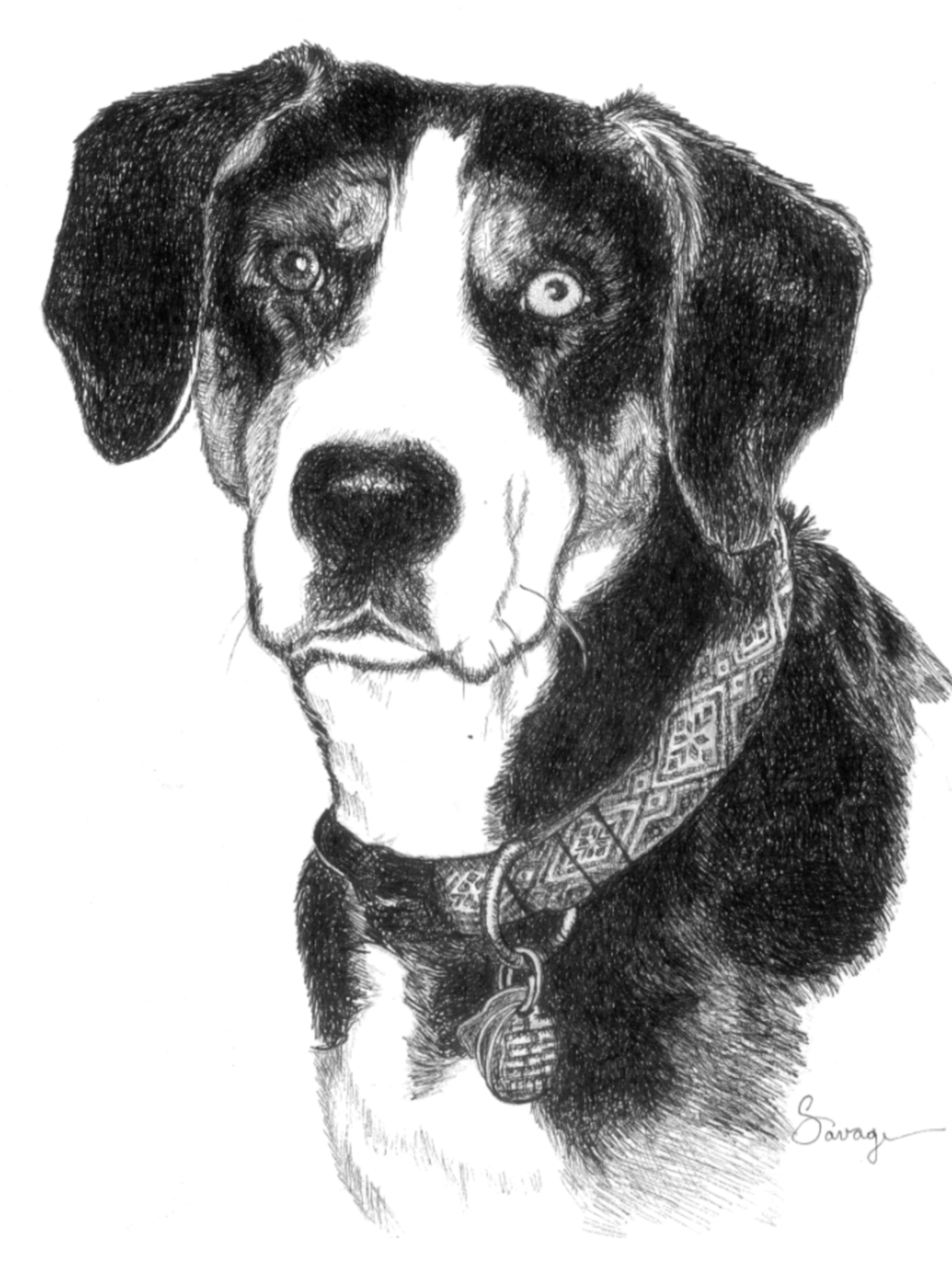 Sophie, Greater Swiss Mountain Dog