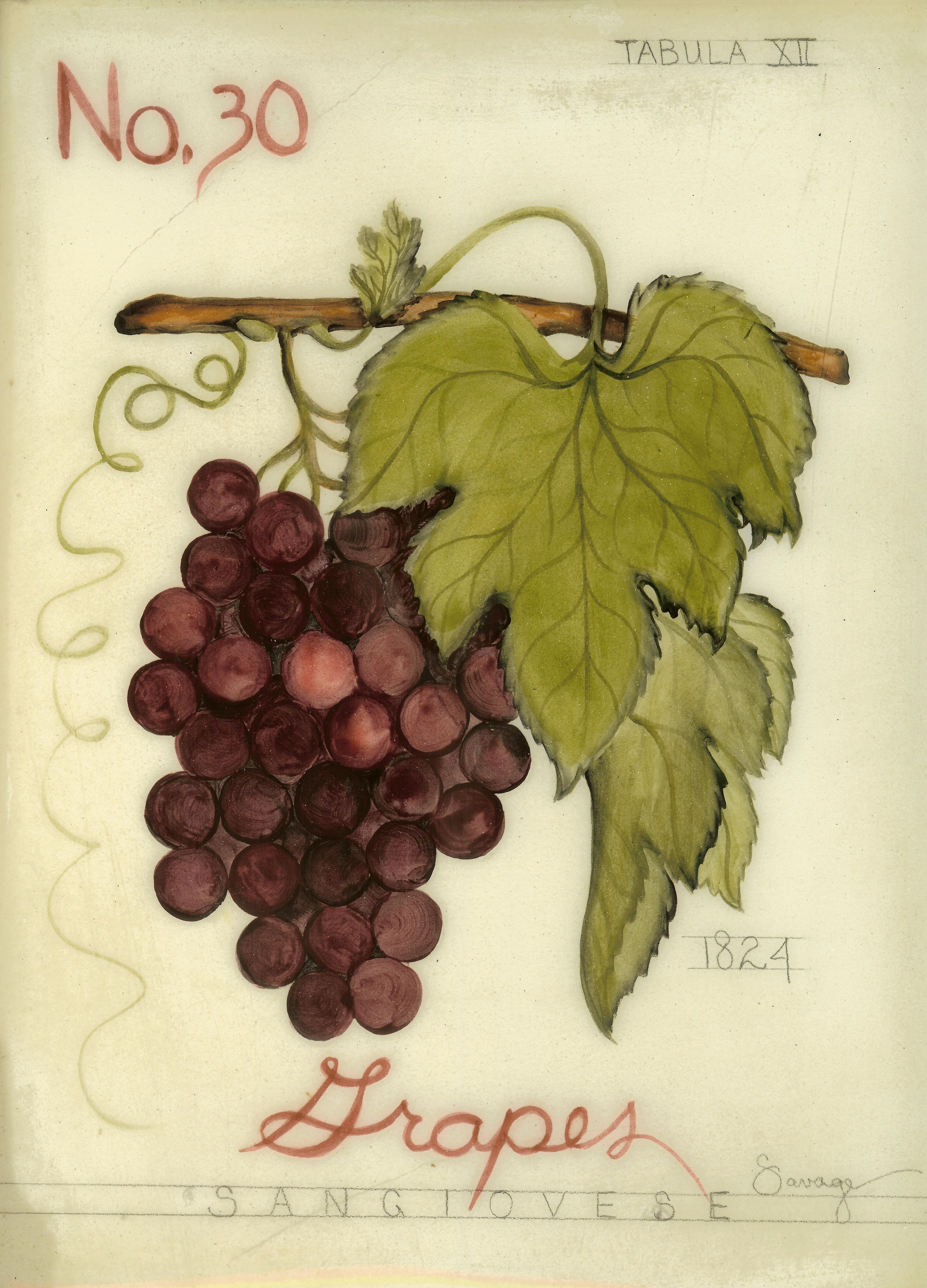 No. 30 Red Grapes