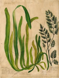 Green Algae & Bryopsis Plumosa