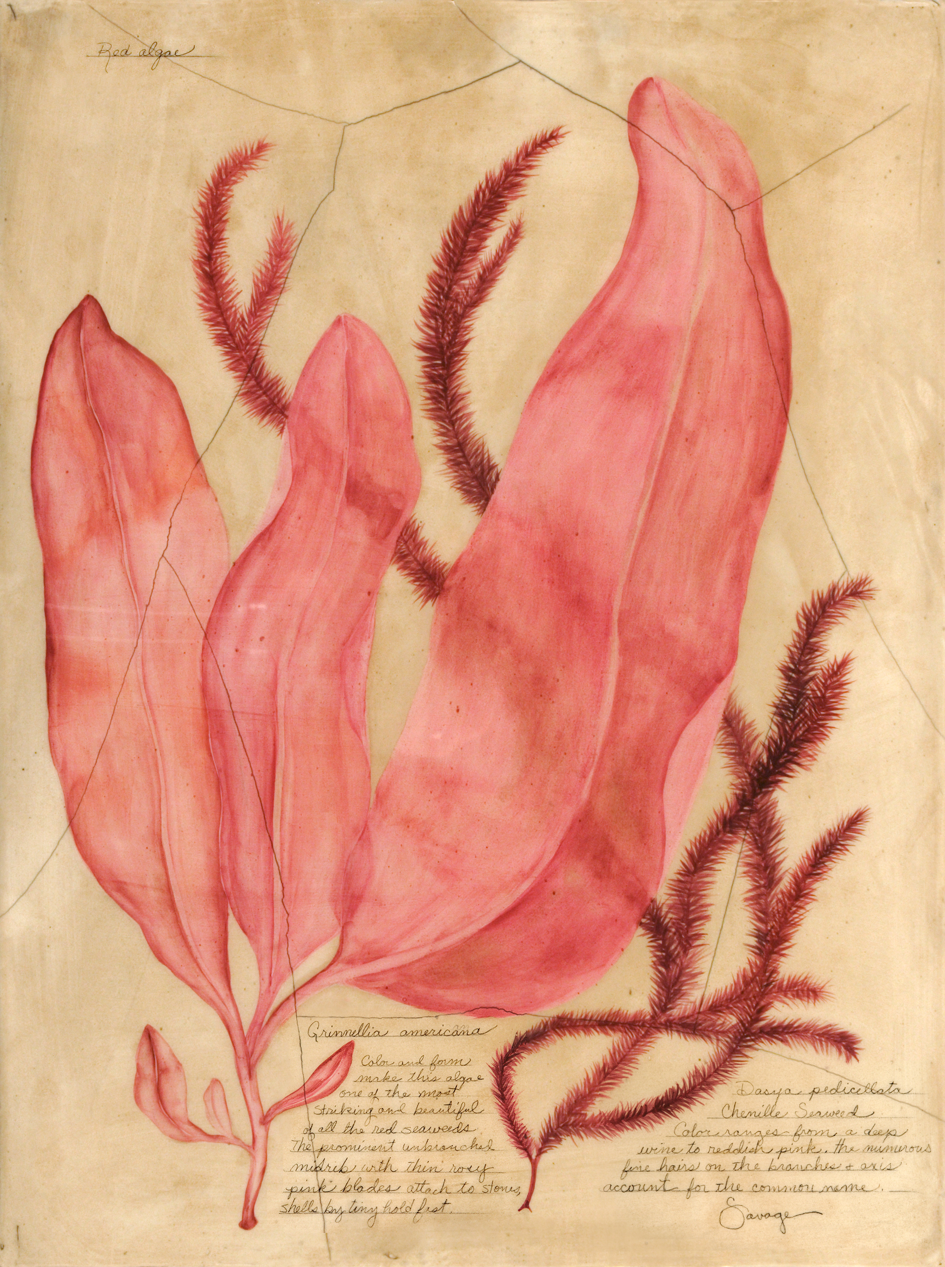 Red Algae & Chenille