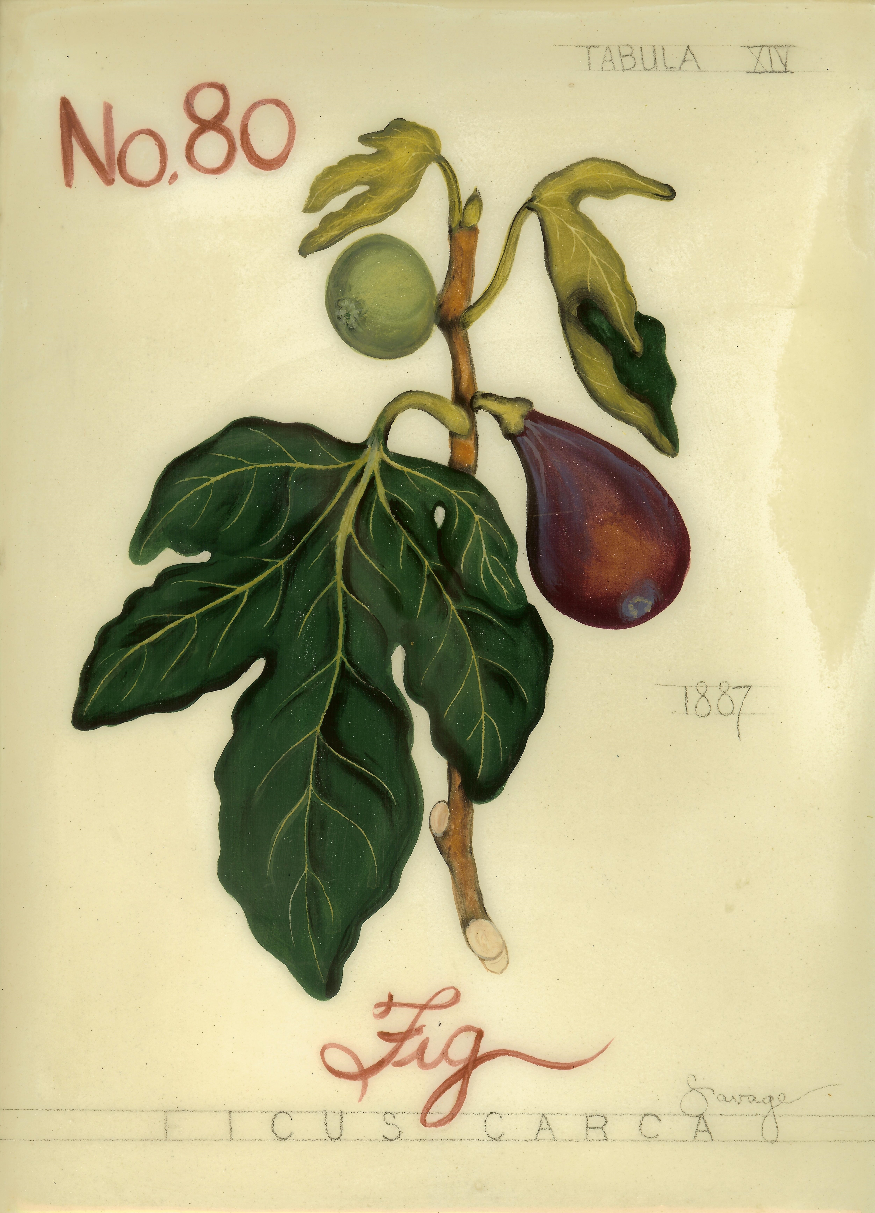 No. 80 Fig