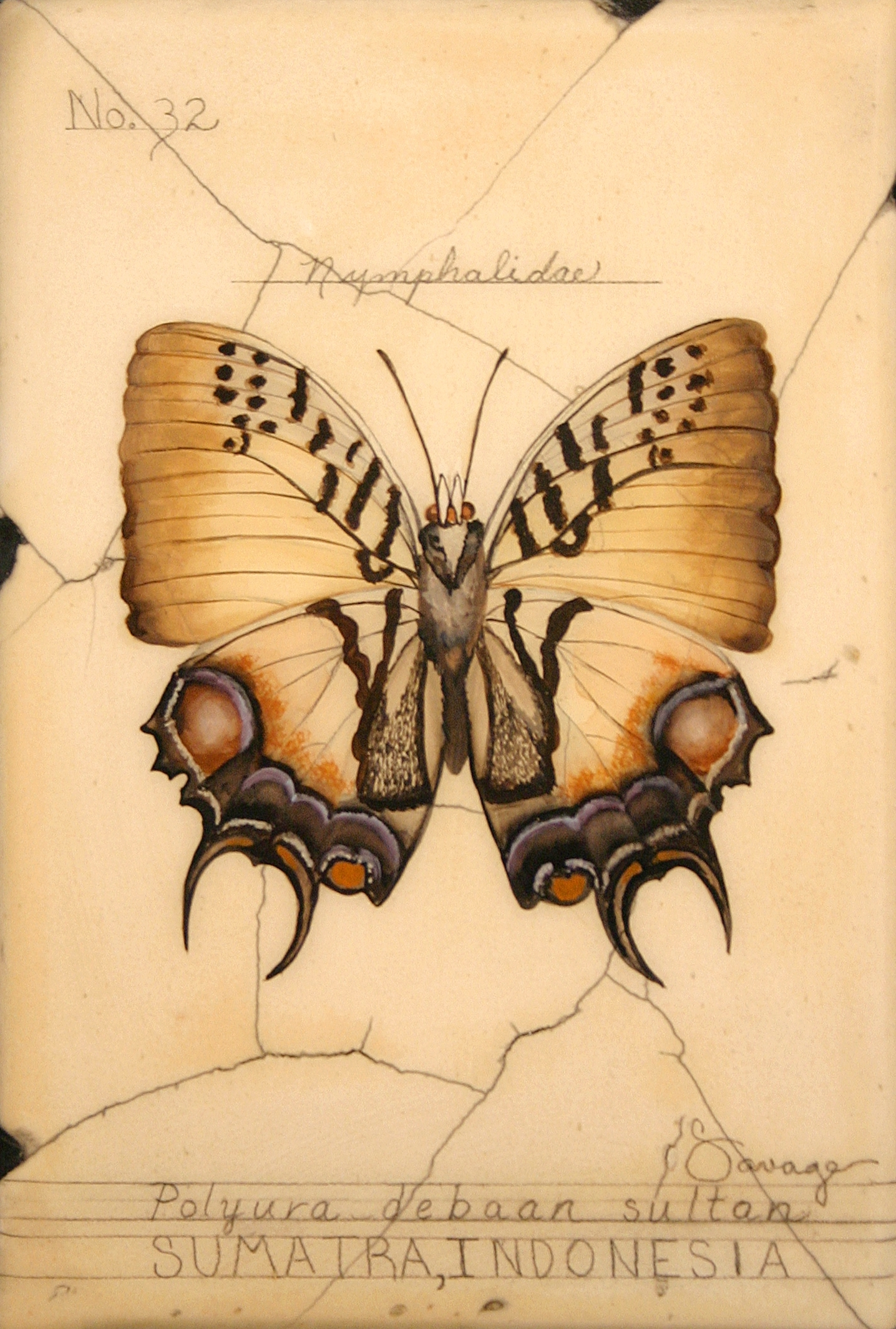 No. 32 Sumatra (Sultan) Butterfly