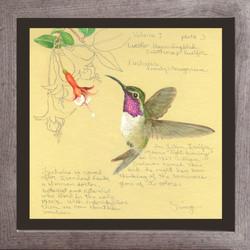 Lucifer Hummingbird & Fuchsias