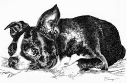 Scarlett, Boston Terrier