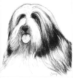 Daisy, Bearded Collie