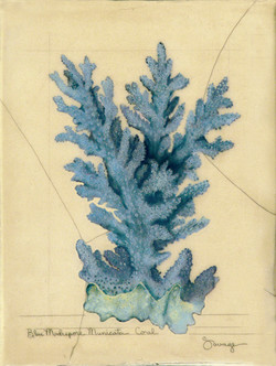 Blue Madrepore Coral