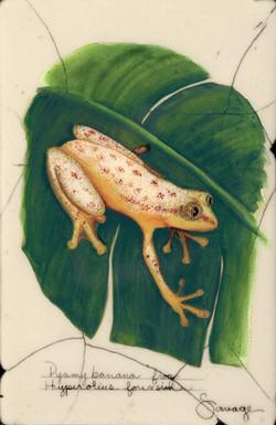 Pygmy Banana Frog