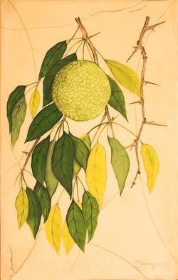 Osage Orange Tree
