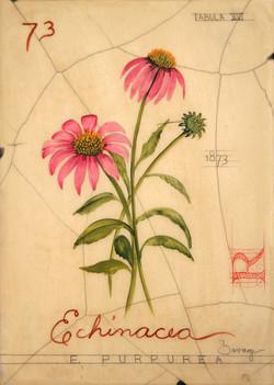 No. 73 Echinacea
