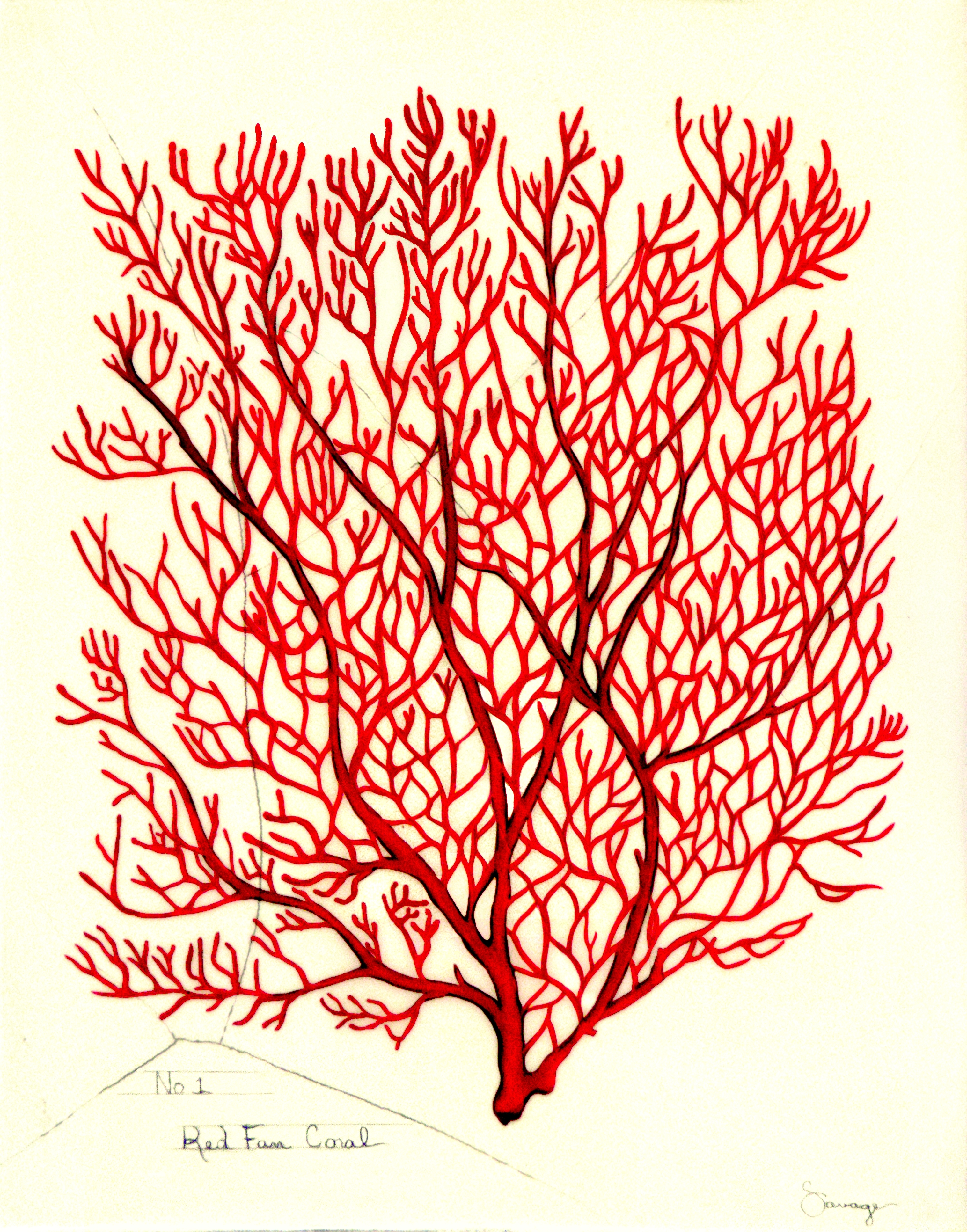 Red Fan Coral