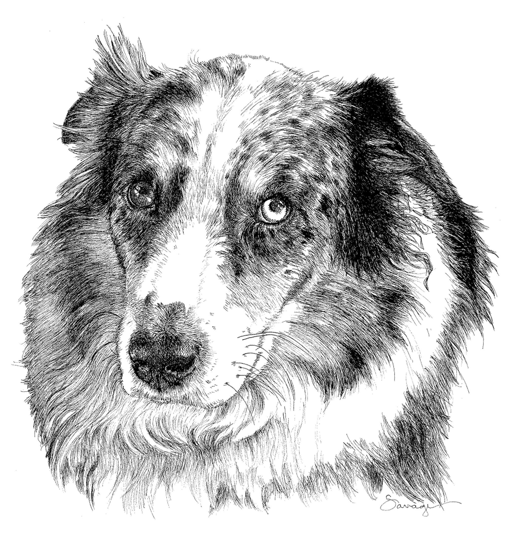Lucy Blue, Australian Shepherd