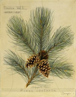 Lodgepole Pine Tree