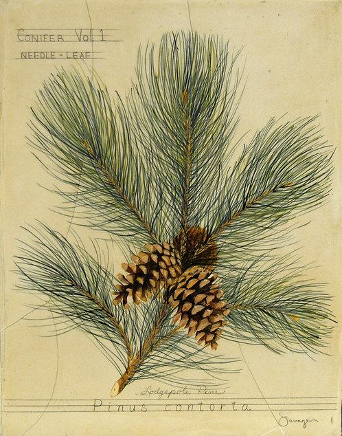 Lodgepole Pine Fresco
