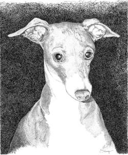 Molly Italian Greyhound