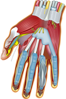 Anatomy of the hand showing muscles, nerves, and tendons