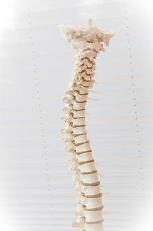 Model of a spine showing vertebra