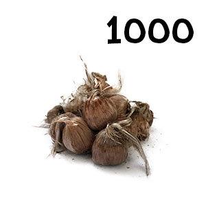 1000 bulbes crocus sativus calibre 9-10
